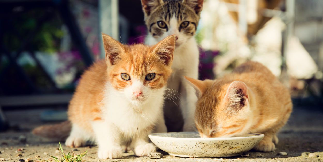 hree cute kittens drinking milk from a plate
