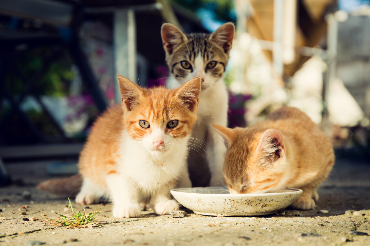 Three cute kittens drinking milk from a plate
